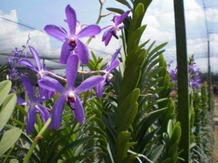 anggrek ungu